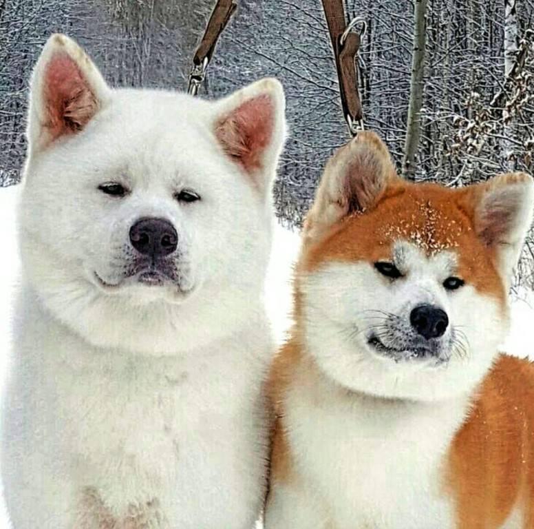 Собаки, похожие на хаски — название пород с фото и описанием