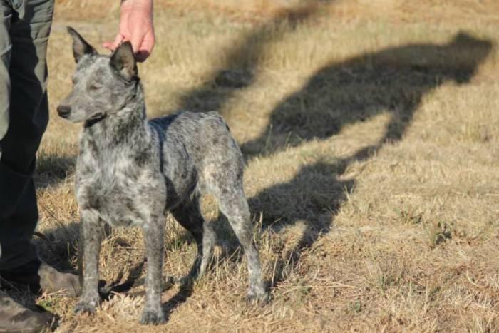 Австралийская пастушья собака: фото