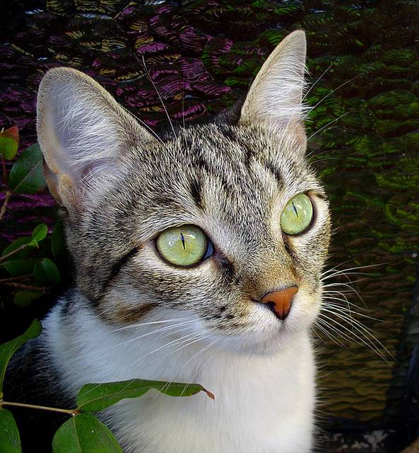Бразильская короткошерстная кошка: ласковая красавица с крепким здоровьем   мур тв