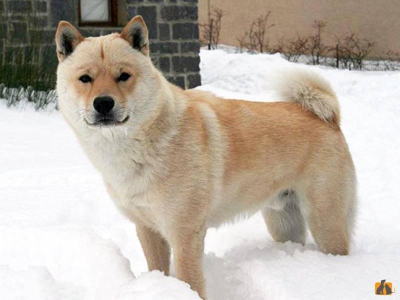 Айну (хоккайдо-ину, айну-кен, хоккайдская собака, хоккайдо): фото, купить, видео, цена, содержание дома