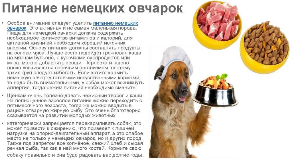 Когда собака должна есть: до или после прогулки?