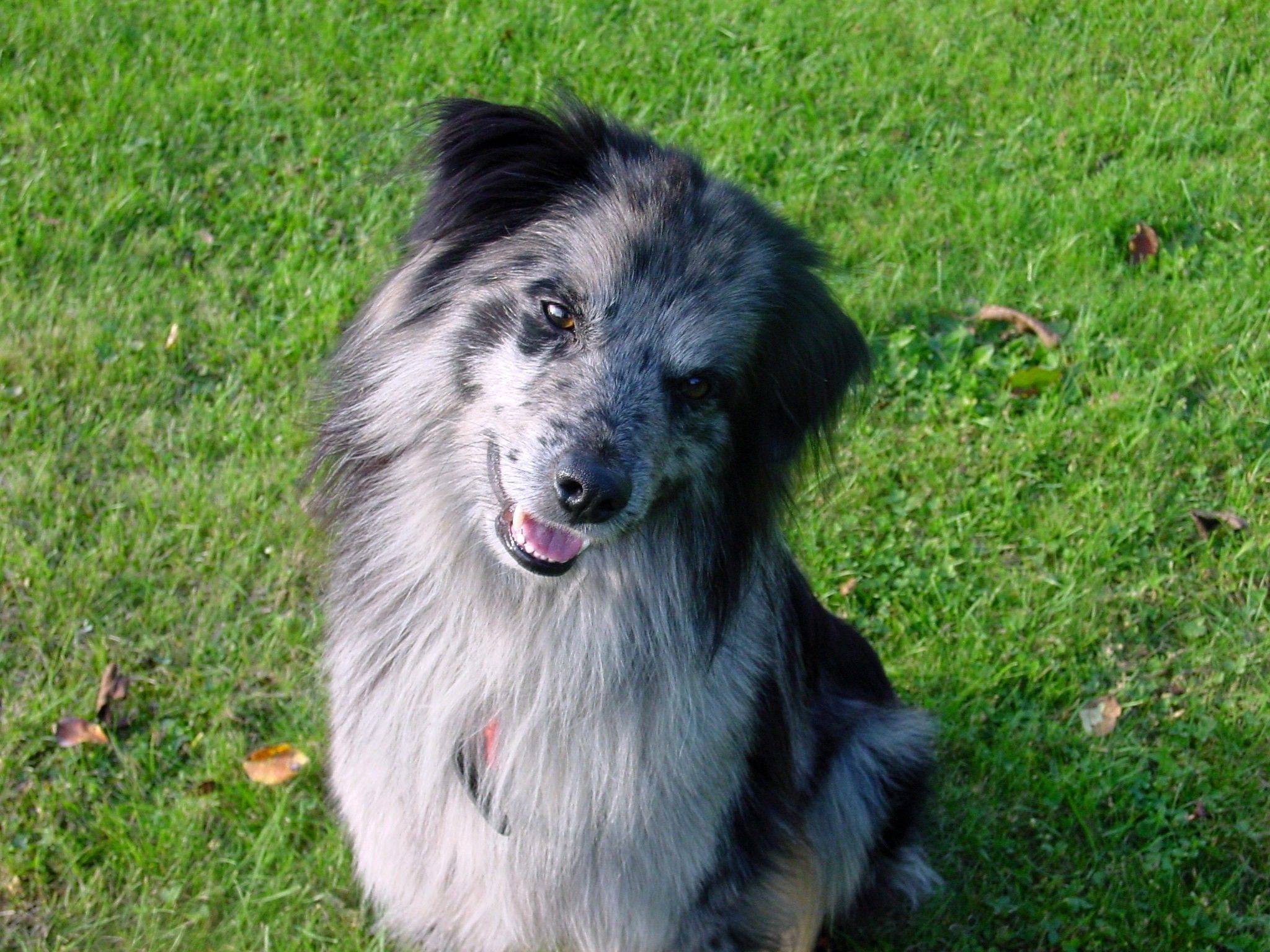Пиренейская горная собака – придворная собака франции
