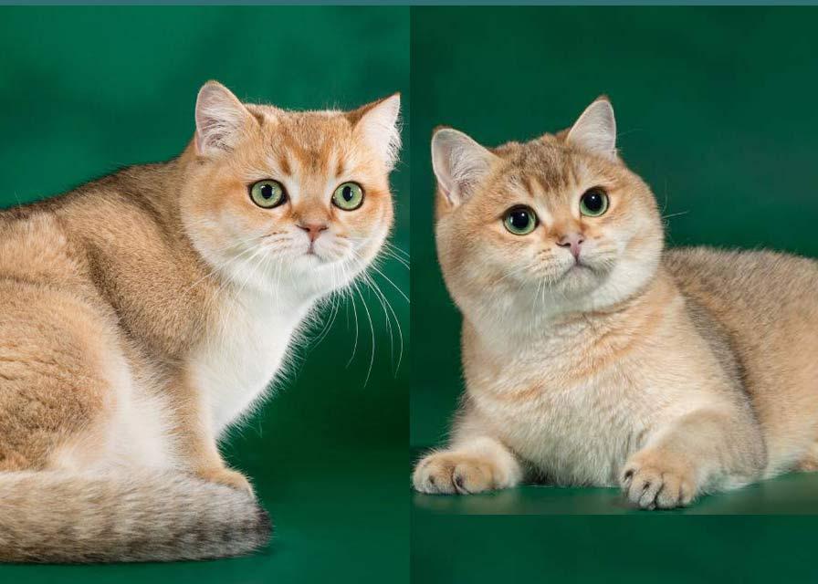 Шотландская шиншилла: вариации окраса, характер и условия содержания кошек