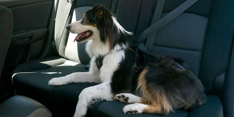 Собаку укачивает в машине – как с этим бороться