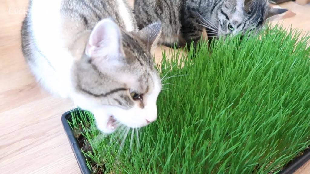 Как выращивают траву для кошек на продажу. как называется трава для кошек, как ее посадить и вырастить. выращивание травки в домашних условиях - новая медицина