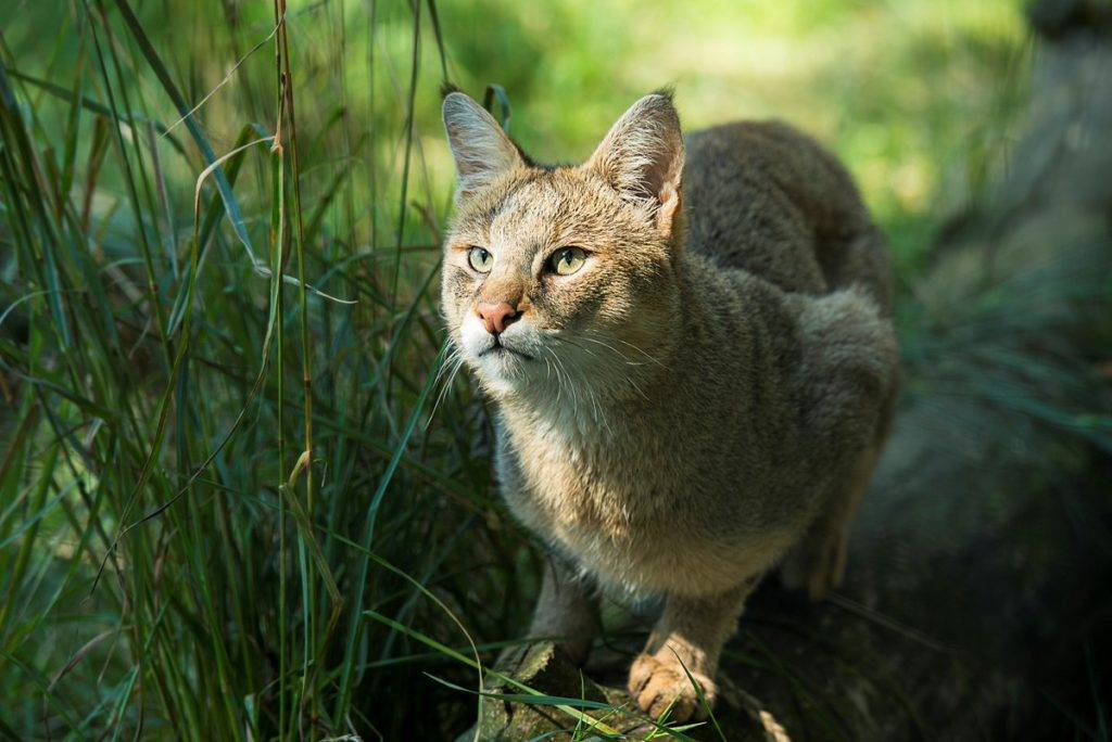 Камышовый кот: как выглядит, особенности содержания в домашних условиях
