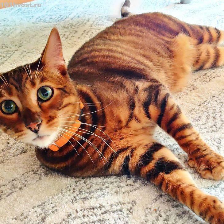 Кошка тойгер: подробное описание породы, фото, цена, история происхождения породы, характер, видео, внешний вид + отзывы