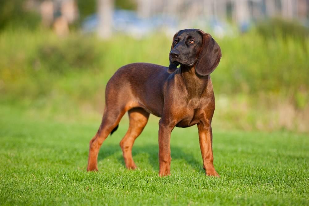 Древер (шведский таксообразный бракк) — фото, описание породы собак и особенности характера