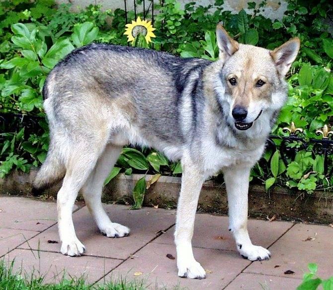 Волчья собака сарлоса: фото, характер, история