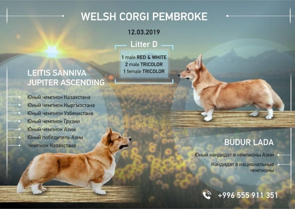 Вельш-корги — самая маленькая овчарка