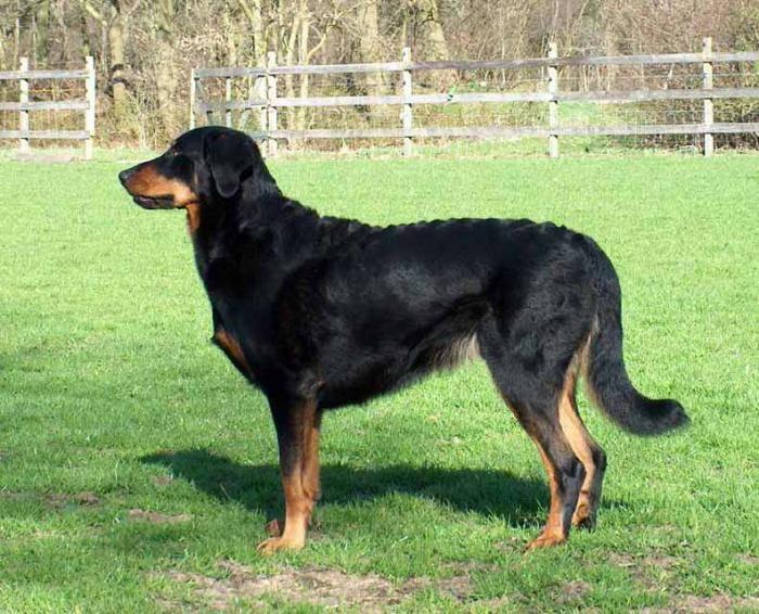Собака французская овчарка босерон: описание породы и характер
