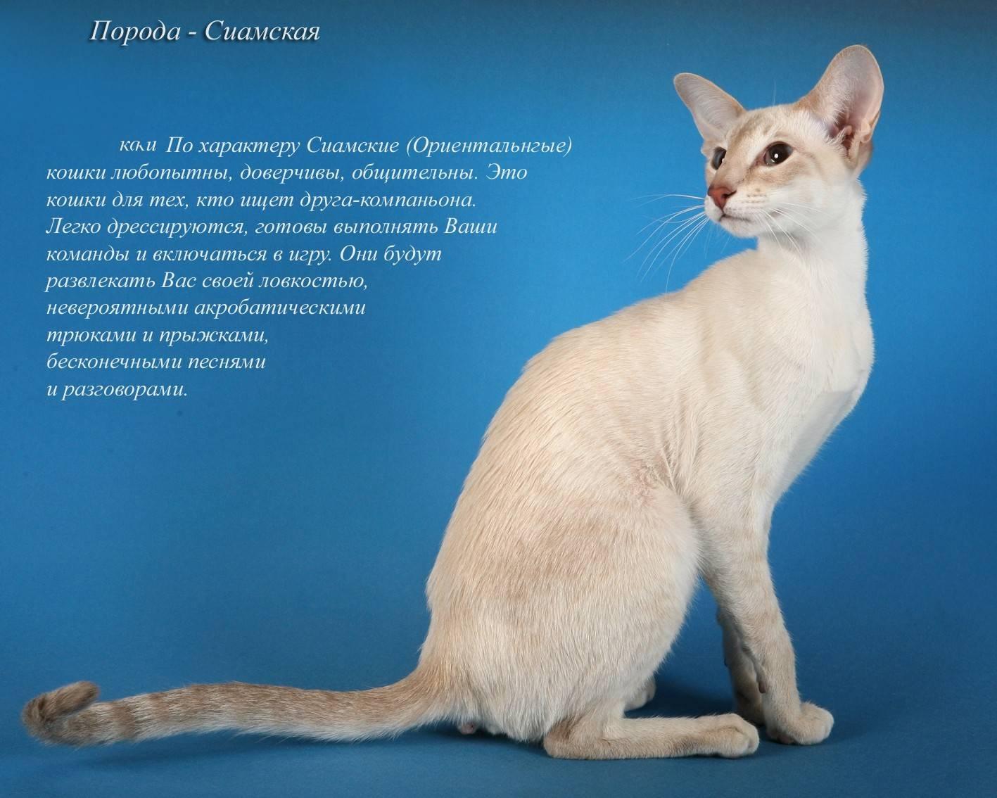 Сиамская кошка: описание породы и характера, правила ухода, содержания, воспитания и кормления