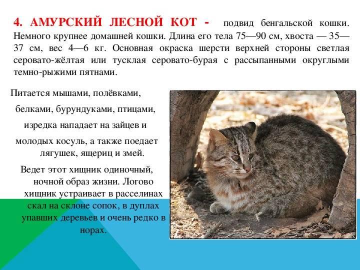 Дальневосточный амурский кот: фото, факты