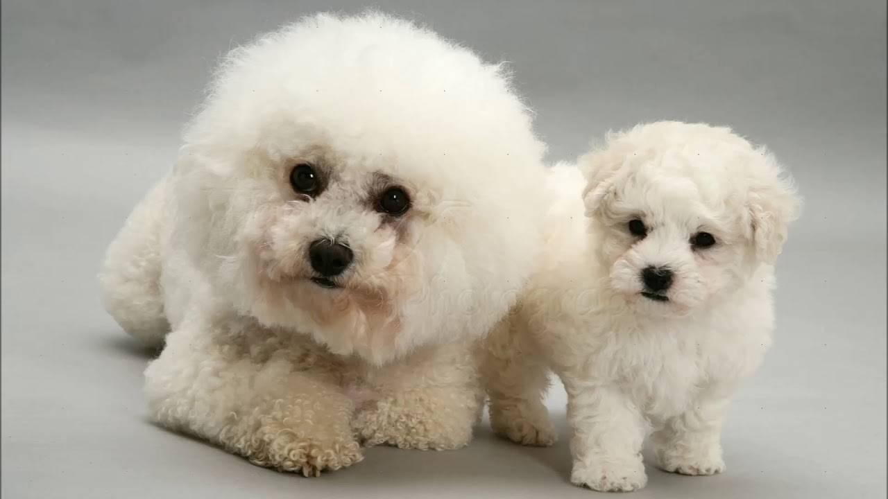 Бишон фризе (французская болонка) — описание породы собак