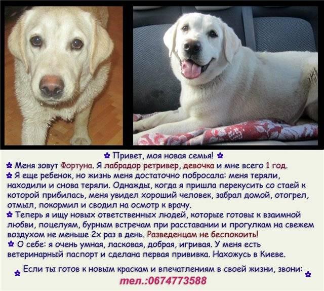 Лабрадор-ретривер: описание породы, характер собаки и щенка, фото, цена