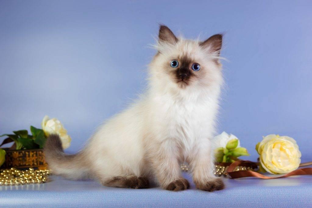 Невская маскарадная: 155 фото котят и взрослых кошек + видео описание породы