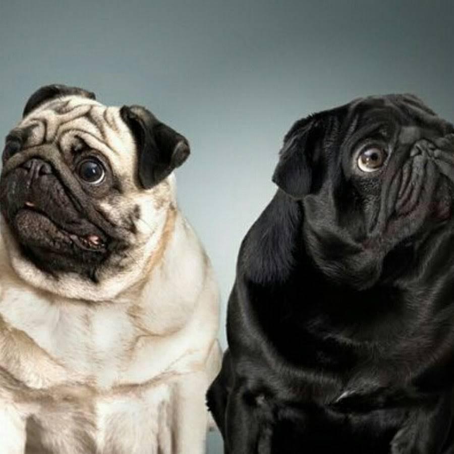 Мопс: описание породы, характер собаки, уход иотзывы