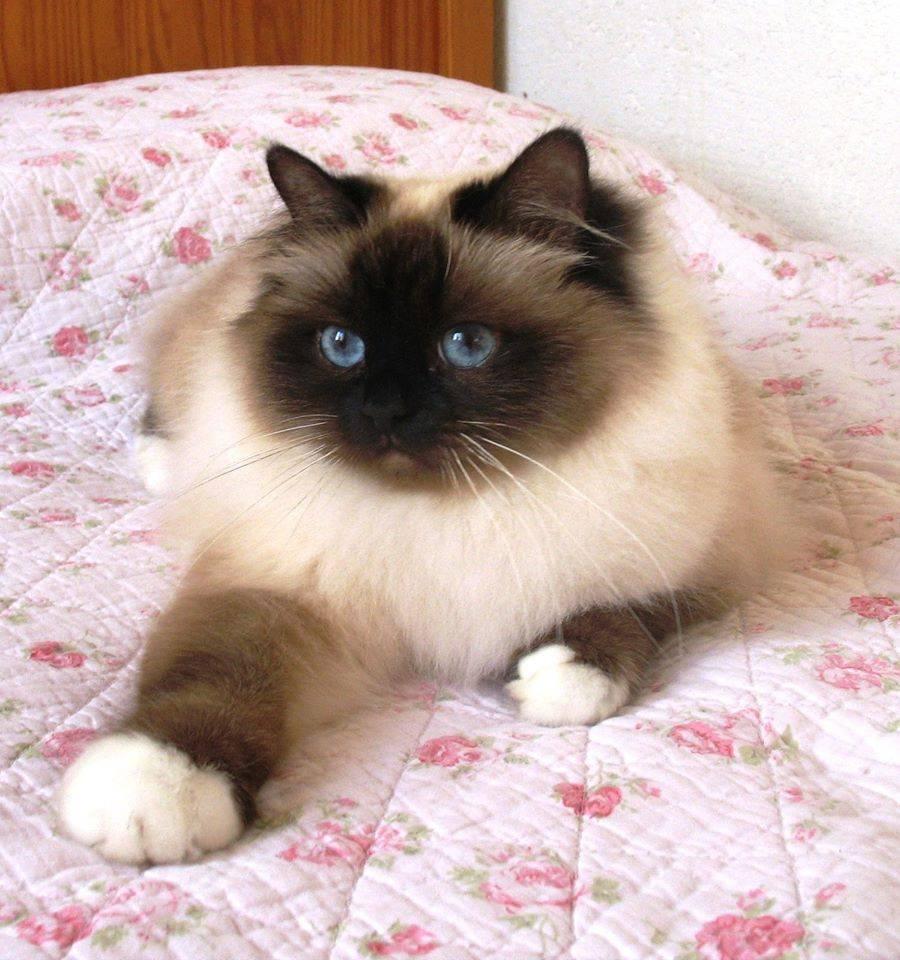 Священная бирманская кошка: описание породы и характера