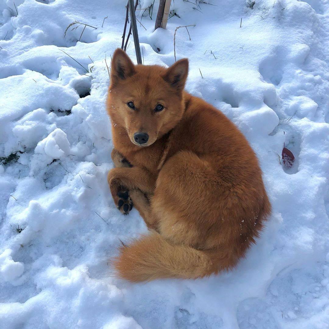 Карело-финская лайка или финский шпиц фото, купить щенка карельской лайки цена, описание породы, отзывы владельцев