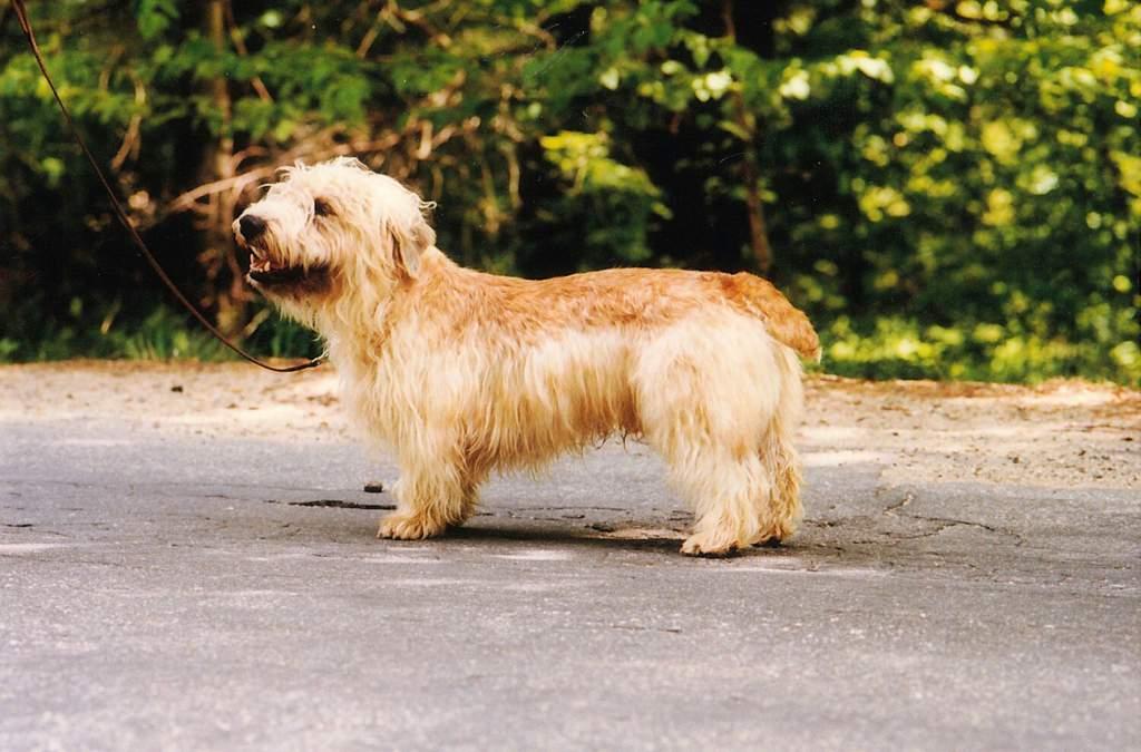 Ирландский глен оф имаал терьер (гленс) — описание породы собак