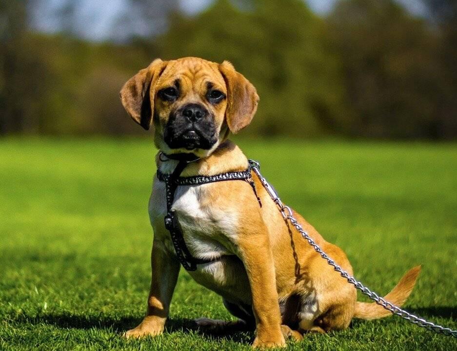 Немецкий дог: фото, характеристики собаки, уход и содержание