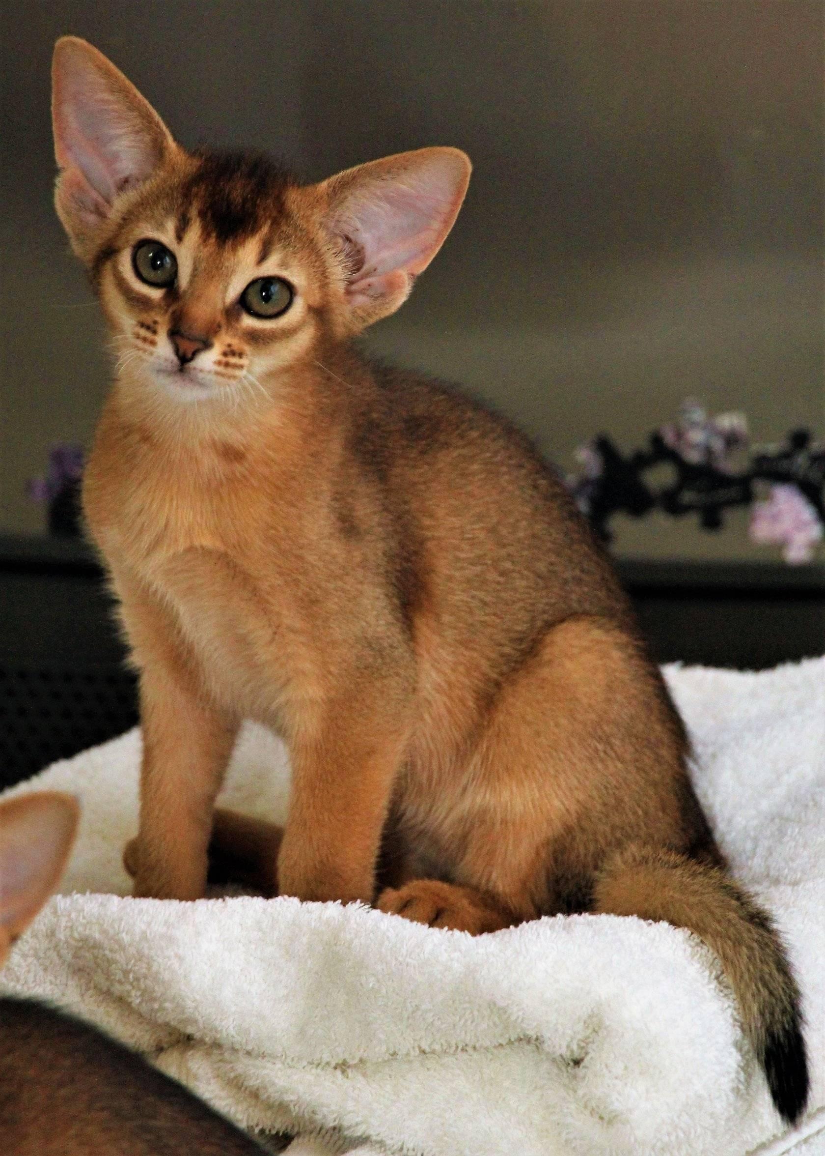 Самые добрые и ласковые породы кошек: преимущества и недостатки таких животных, особенности выбора питомца, фотографии