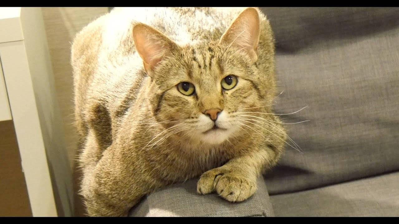 Пиксибоб – кошка, похожая на мини-рысь