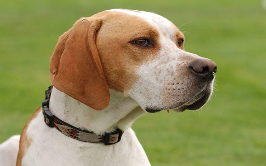 Порода собак пойнтер: фото, описание и отзывы охотников