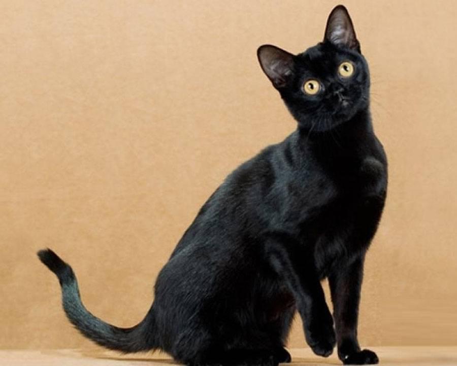 Бомбейская кошка (бомбей): ? фото, описание, характер, интересные факты о породе