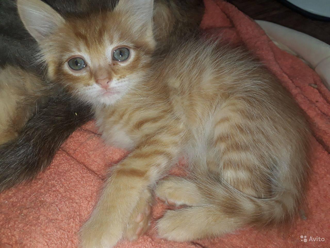 Метис большого мейн-куна: лучшие помеси самой популярной американской кошки