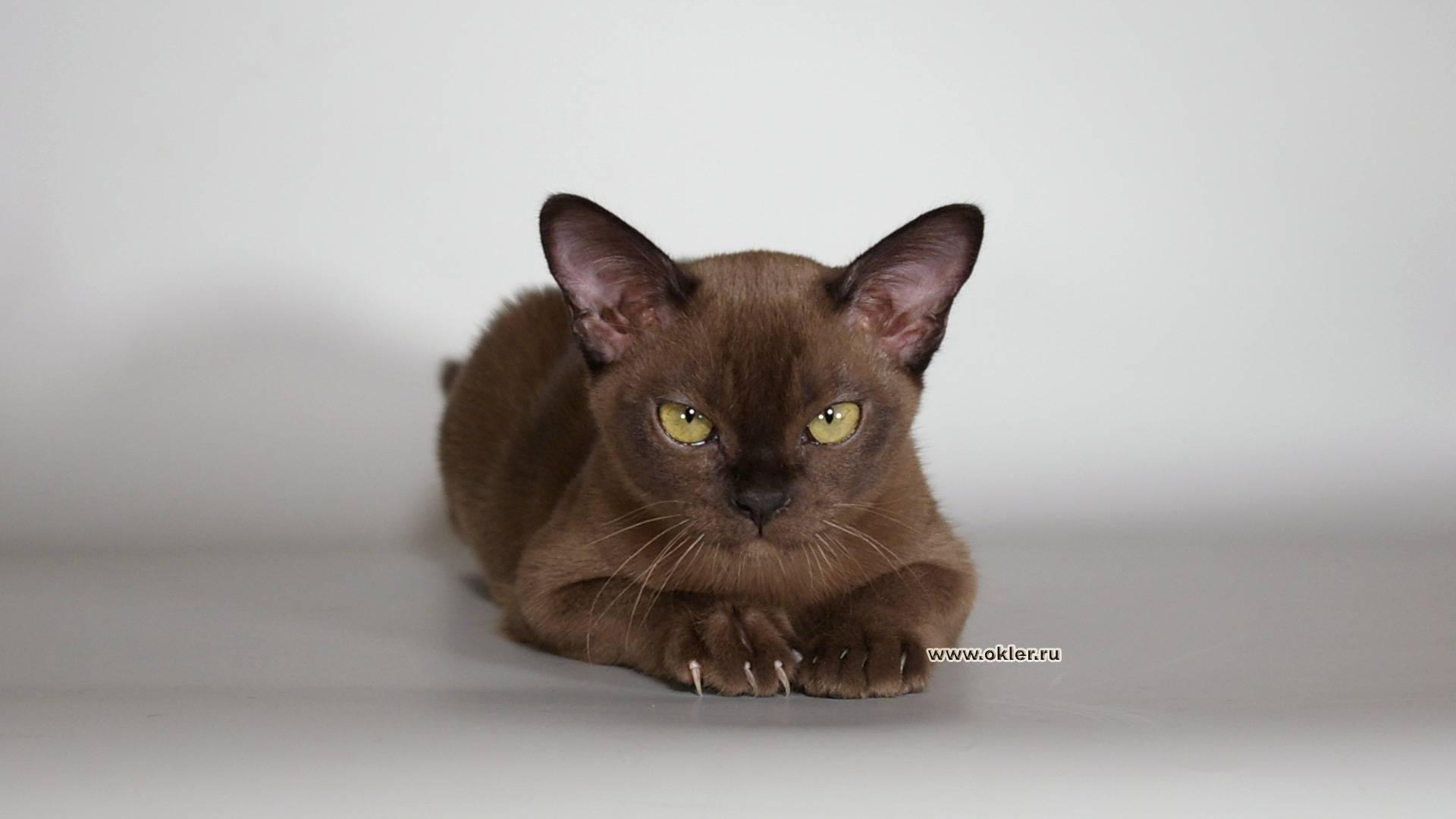 Йоркская шоколадная кошка: подробное описание, фото, купить, видео, цена, содержание дома