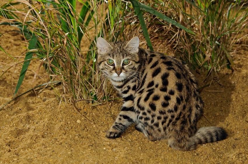Африканская черноногая кошка муравьиный тигр