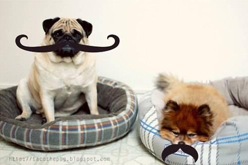 Можно ли собаке стричь усы | можно ли подстригать