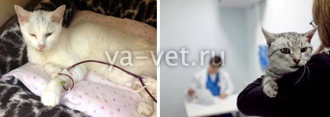 Острая сердечная недостаточность у кошки лечение выживаемость