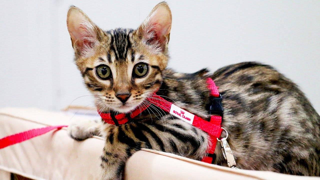 Кошки: популярные породы в россии и в мире