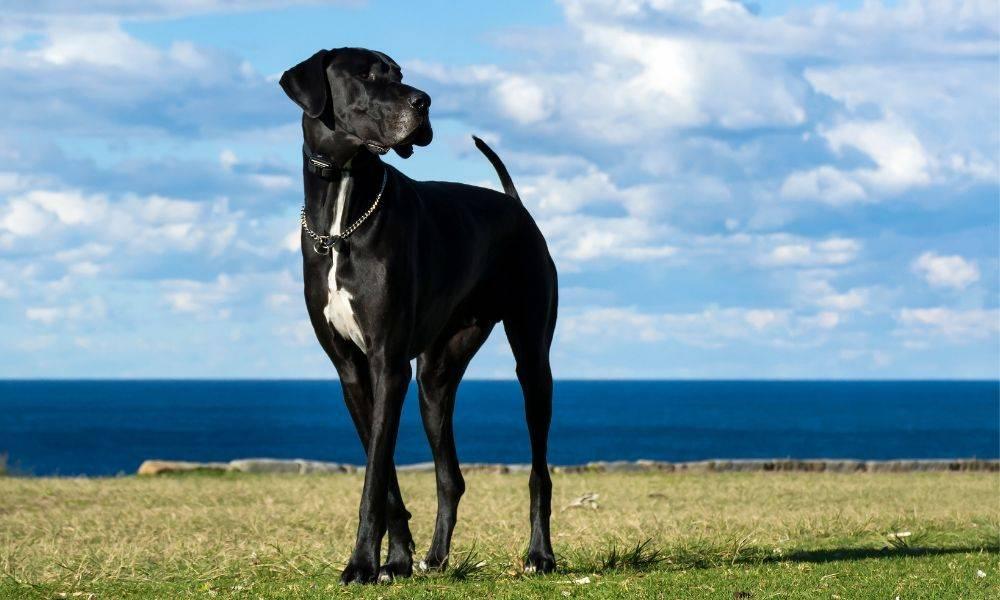 Самые спокойные породы собак — описание, фото