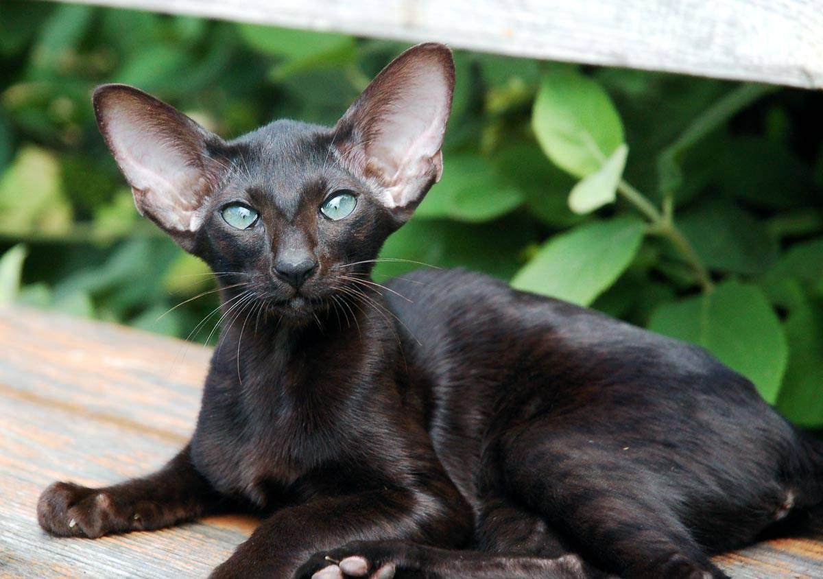 Ориентальная кошка: фото, описание, характер, содержание, отзывы
