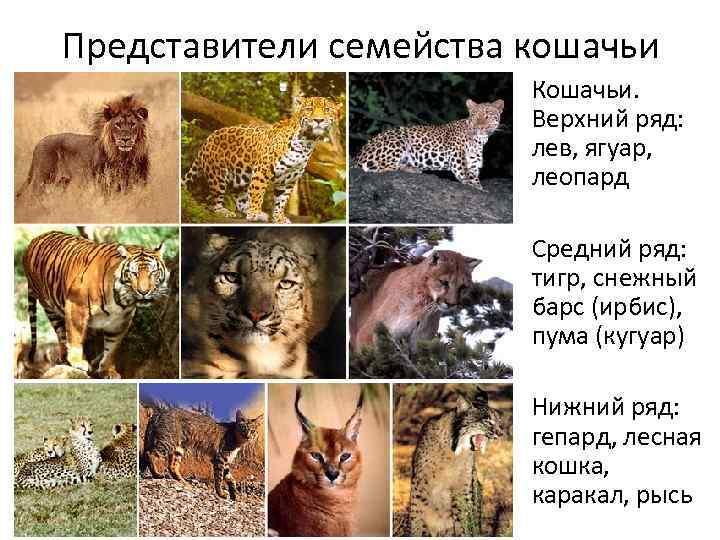 9 крошечных диких кошек, о существовании которых вы не догадывались