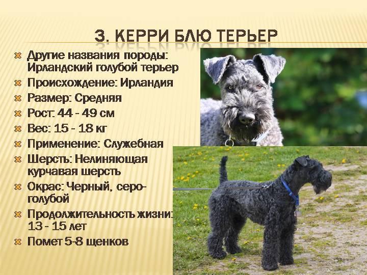 Русский черный терьер — полное описание породы