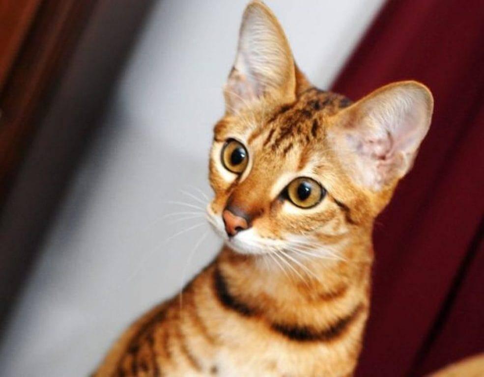 Серенгети кошка. описание, особенности, уход и цена кошки серенгети