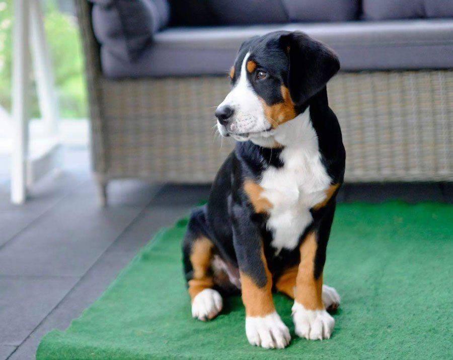 Большая швейцарская горная пастушья собака (большой швейцарский зеннен: фото, купить, видео, цена, содержание дома