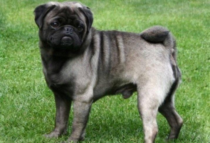 Мопс собака. описание, особенности, уход и цена мопса