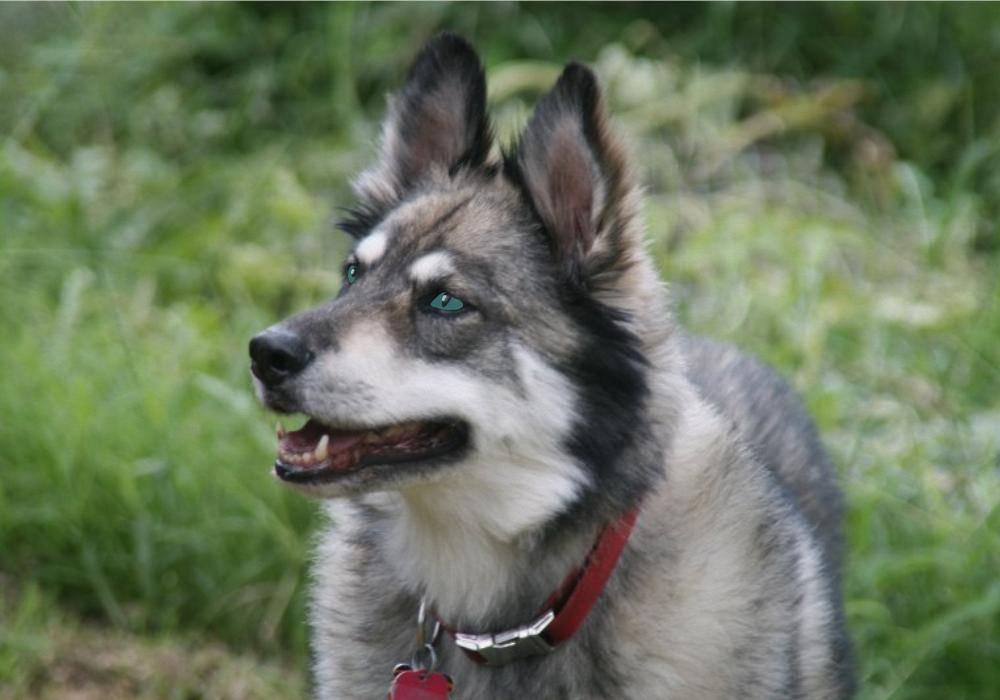Лайка и хаски: различие пород собак
