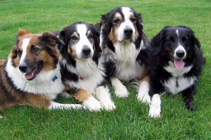 Английская овчарка: характеристика и описание породы (с фото)   все о собаках