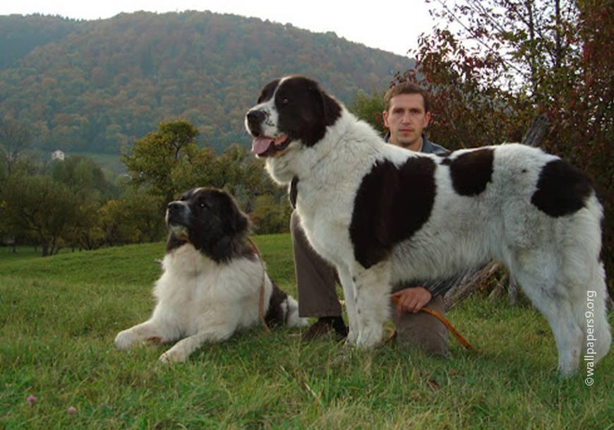 Баскская овчарка: описание породы, фото собаки
