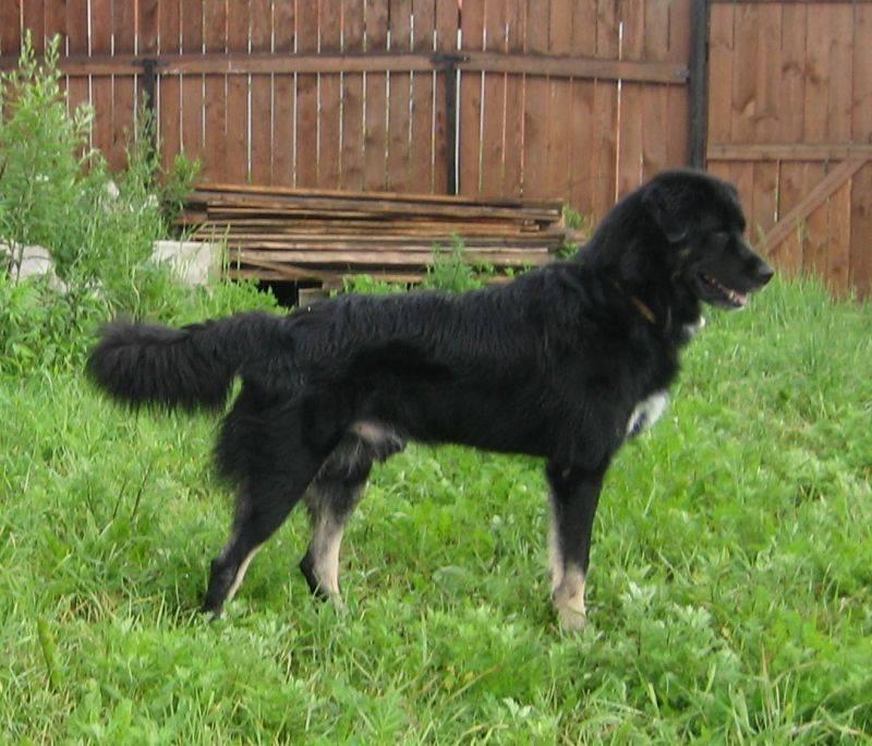 Крашская овчарка: описание породы собак с фото и видео