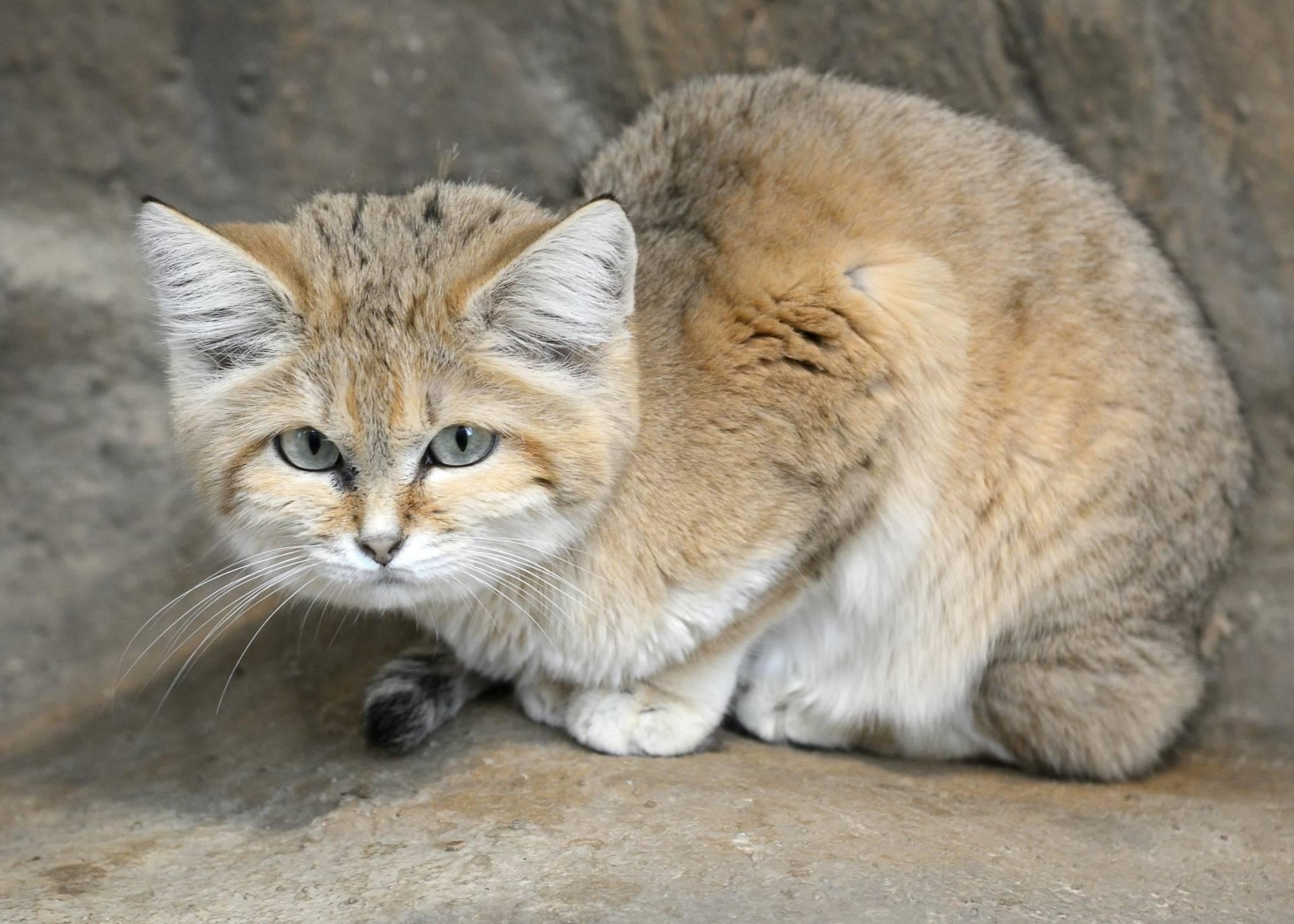 Барханный кот, маленький воин пустыни - барханный кот, песчаный кот, разновидности, ареал обитания, образ жизни, размножение, истребление