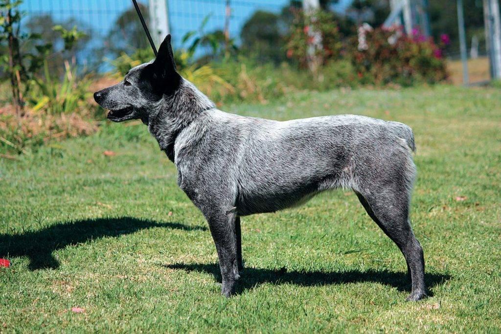 Австралийская пастушья собака — википедия. что такое австралийская пастушья собака