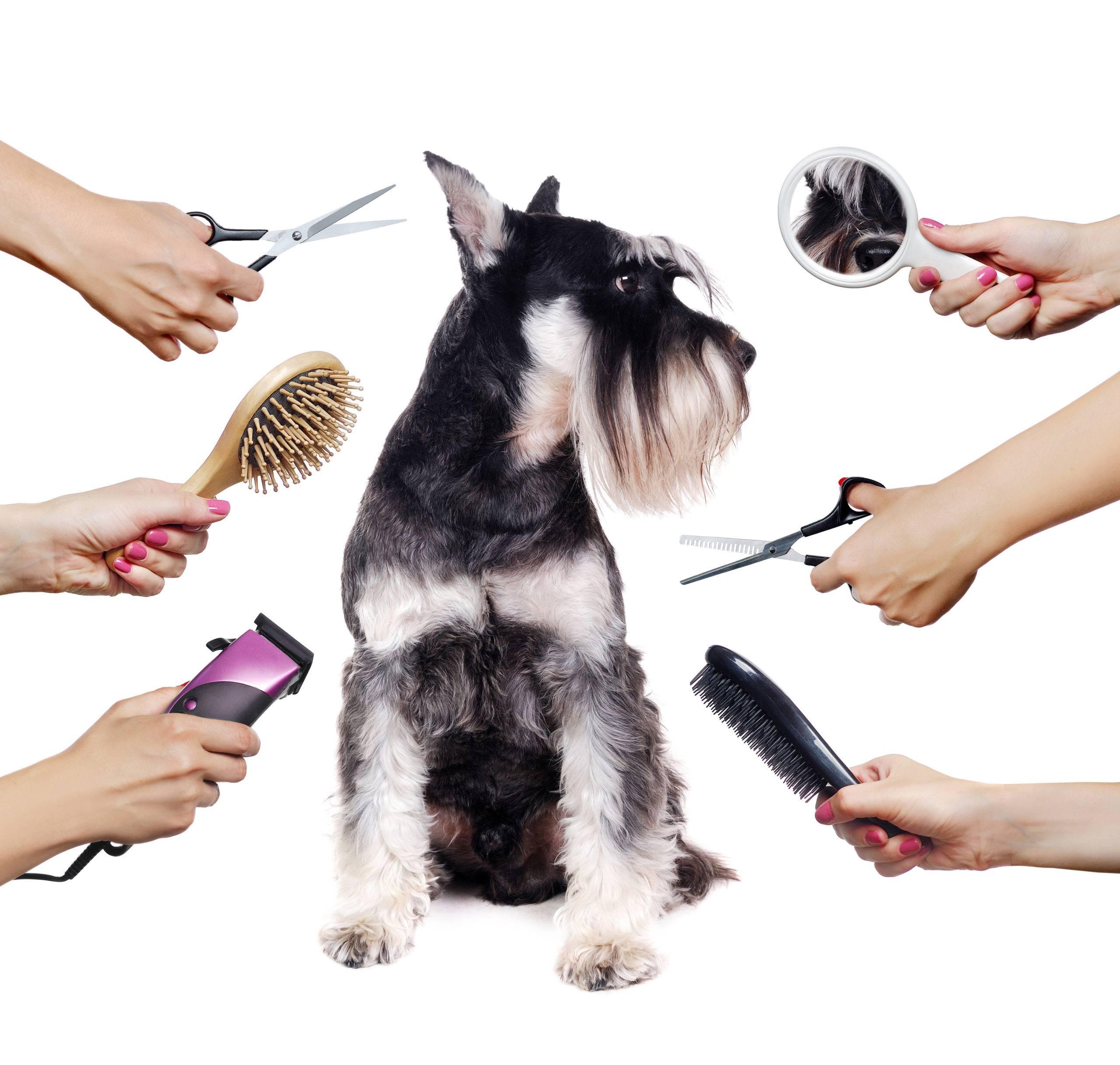 Как подстричь морду йорку: особенности и виды стрижек, необходимые инструменты, выполнение процедуры в домашних условиях