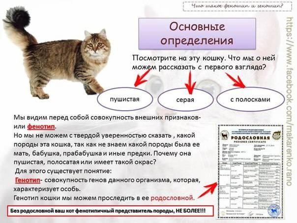 Как выглядит и как ухаживать за британским вислоухим котом?